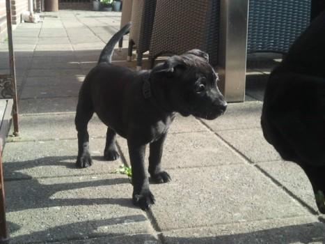 Nibby als kleine pup